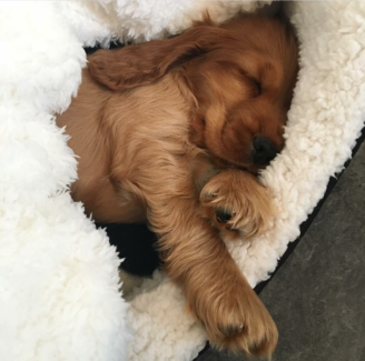 Wanted: Wanted : pure breed golden cocker spaniel