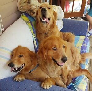 Golden Retriever Puppies Canungra Ipswich South Preview
