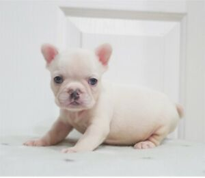 Lilac Platinum carrying Long Hair French Bulldog Male | Dogs