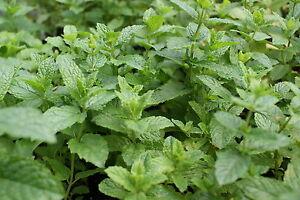 Marokkanische Minze 1 Pflanze Mentha spicata Teekraut winterhart