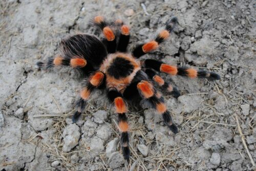 "Brachypelma smithii Formerly Annitha (Mexican Giant Red Knee) 1""-1.5"" Unsexed"