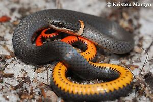 Looking for Ring neck snake