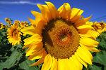 sunflowerbazaar
