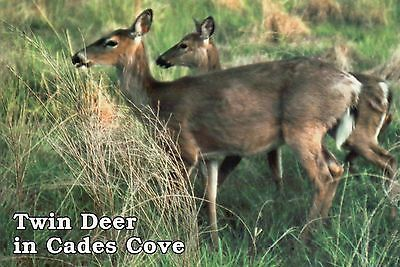 Twin Deer in Cades Cove, Great Smoky Mountains National Park TN Animal Postcard