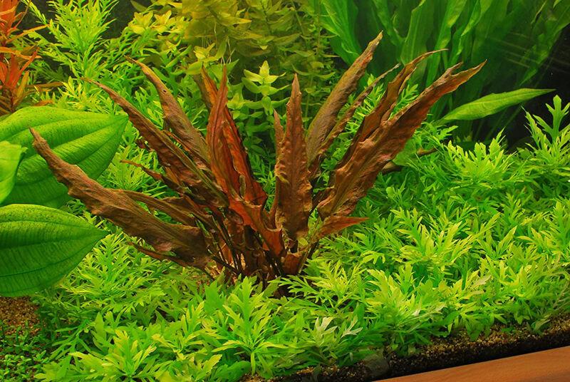 Buy2 Get1 FREE Cryptocoryne Crypt Wendtii Red (Small) Live Aquarium Plants Decor
