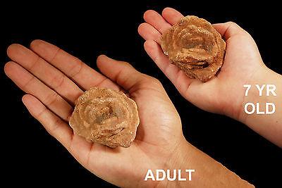 "Baryte Rose 2"" 3-5 Oz Rocks and Minerals Specimen Crown Chakra Healing Crystal"