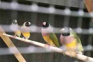 Male Gouldian Finches for sale Toukley Wyong Area Preview