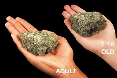 """Pyroxenite 2"""" 1 CENT NO RESERVE Rock Mineral Natural Healing Crystal Reiki Stone"""