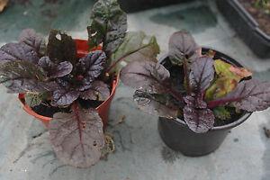 6 x AJUGA REPTANS BRAUNHERZ  BUGLE EVERGREEN GROUND COVER PLANTS PURPLE FLOWERS