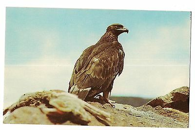 GOLDEN EAGLE & Jack Rabbit Dinner Bird of Prey King Hunters West TEXAS Postcard
