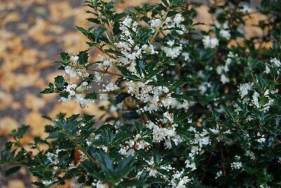 Fragrant Princess Dwarf Tea Olive ( osmanthus ) - Live Plant - Quart Pot Fragrant Tea Olive