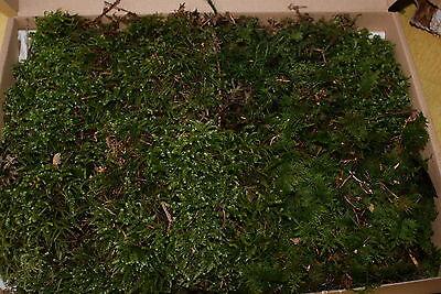 Moos frisch aus d. Wald, Waldmoos, Naturmoos Deko Basteln Floristik Natur