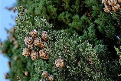 150+FRESH Italian Cypress / Cupressus Sempervirens seeds ...