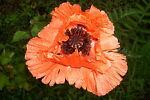 poppies789