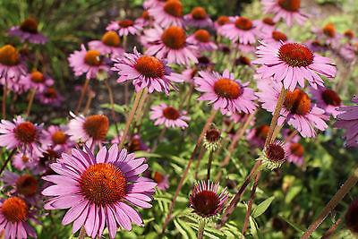 Sonnenhut rot - Echinacea - 30 Samen