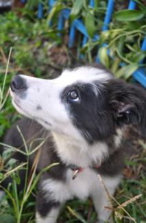 Pedigree Border Collie Puppy for sale