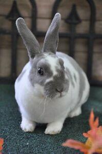 Mini rex bunny rabbits