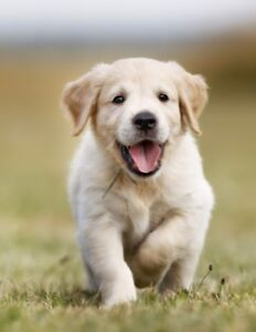 Golden Retriever Dogs Puppies For Sale Gumtree Australia