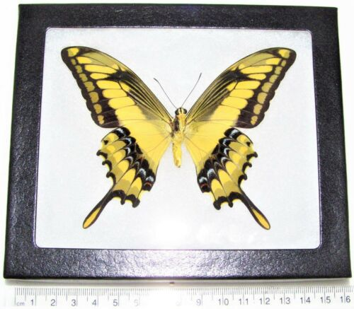 REAL FRAMED BUTTERFLY PAPILIO THOAS GIANT KING SWALLOWTAIL VERSO PERU