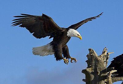 AMERICAN BALD EAGLE IN FLIGHT AMAZING HQ 8X10 NATURE PHOTO PICTURE