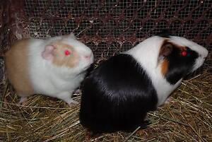 Guinea Pigs Clyde Casey Area Preview