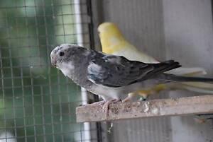 Grass Parrot Pied Grey Blue Hen ARMIDALE NSW Armidale Armidale City Preview