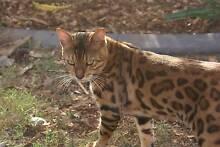 3 STUNNING BROWN ROSETTE BENGAL KITTENS Kallangur Pine Rivers Area Preview