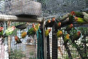 Lovebirds many different colours Eaglehawk Bendigo City Preview