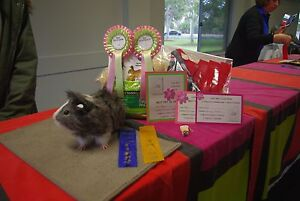 Guinea Pig show - CAVY WEST - Pets for sale Gidgegannup Swan Area Preview