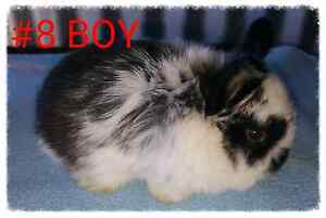 DWARF LOP RABBITS - READY 27th AUGUST Adelaide CBD Adelaide City Preview