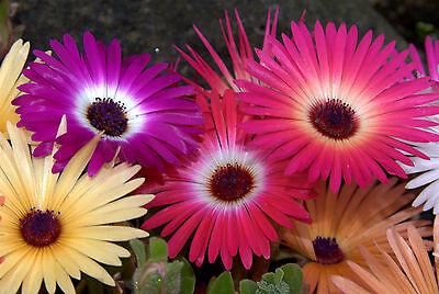 iceplant ICE PLANT mesembryanthemum LIVINGSTONE DAISY 515 seeds! groco* US - Planting Daisy Seeds