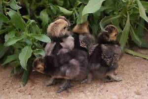 BABY CHICKS BANTAM SILKIE CHICKENS $10 ea Gawler Gawler Area Preview