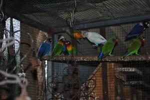 Fischer Parrots Eaglehawk Bendigo City Preview