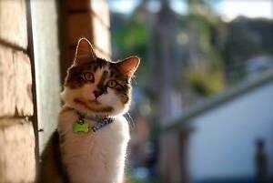 LOST CAT - RAGDOLL X Swansea Lake Macquarie Area Preview