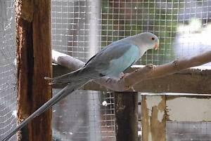 Blue Princess Parrot Male Healthy bird ARMIDALE NSW Armidale Armidale City Preview