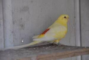 Lutino Male Grass Parrot Red Rump Healthy bird ARMIDALE Armidale Armidale City Preview