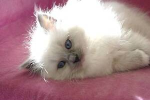 BLUE MITTED FEMALE RAGDOLL KITTEN Broadford Mitchell Area Preview