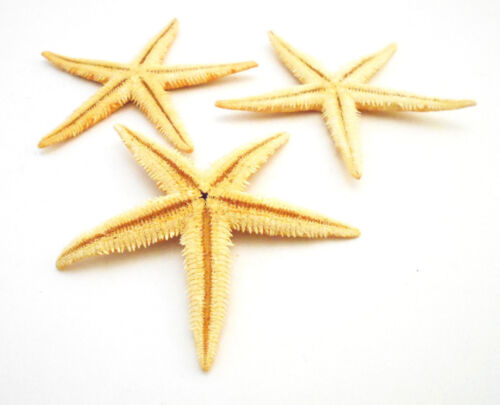 "Set of 3 Large Oriental Tan Starfish 3-3 1/2"" Beach Wedding Crafts Decor (Flat)"