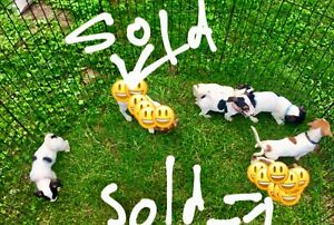Tri coloured jack Russell puppy's 4 sale