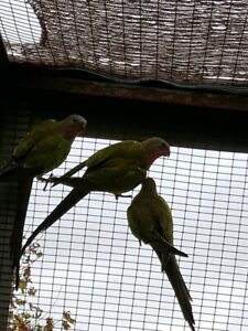 Princess parrots mixed sex pick up only