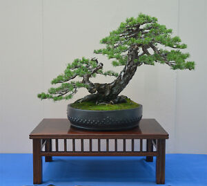 pinus sylvestris scots pine outdoor bonsai tree 30 seeds. Black Bedroom Furniture Sets. Home Design Ideas