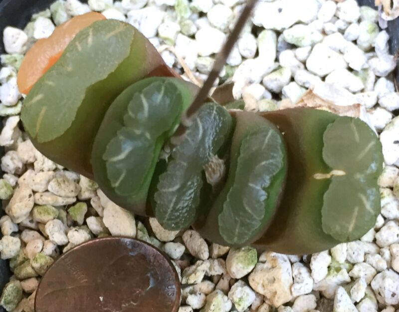 Succulent Plant--Haworthia truncata--Horse Teeth!