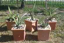 CACTI PLANTS Scarborough Redcliffe Area Preview
