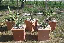 CACTI PLANTS Scarborough Redcliffe Area Preview