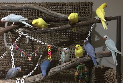 *** Gorgeous Indian Ringnecks Available Soon ***
