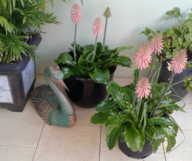 Exotic South African Lily Plants Stunning!