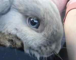 10 months old breeding pair Purebred mini lop bunny rabbit. St Albans Brimbank Area Preview