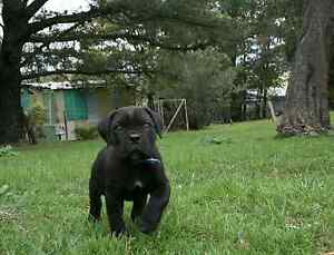 Cane Corso Puppies Solid Black Melbourne North Whittlesea Whittlesea Area Preview