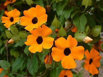 60 BLACK EYED SUSAN VINE Thunbergia Alata Flower (buy 1 get 2 free) 180 (Black Eyed Susan Vine)