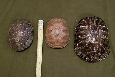 1 Box turtle shell & 2 Red eared slider turtle shells Red Eared Sliders Turtles
